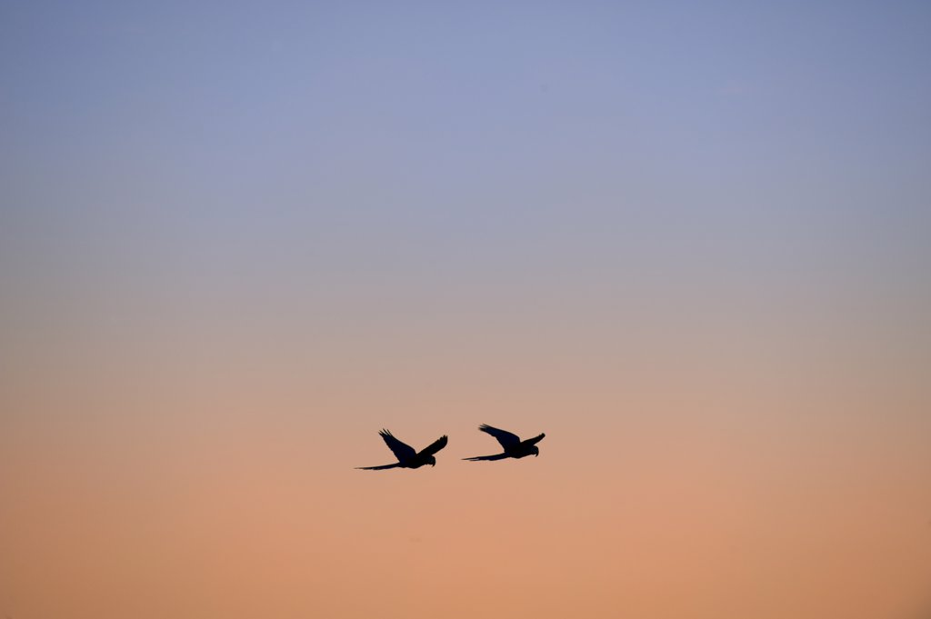 Brazil, Southern Pantanal, Caiman Ranch, Hyacinth Macaws (Anodorhynchus Hyacinthinus) In Flight, Evening Sky In Background : Stock Photo