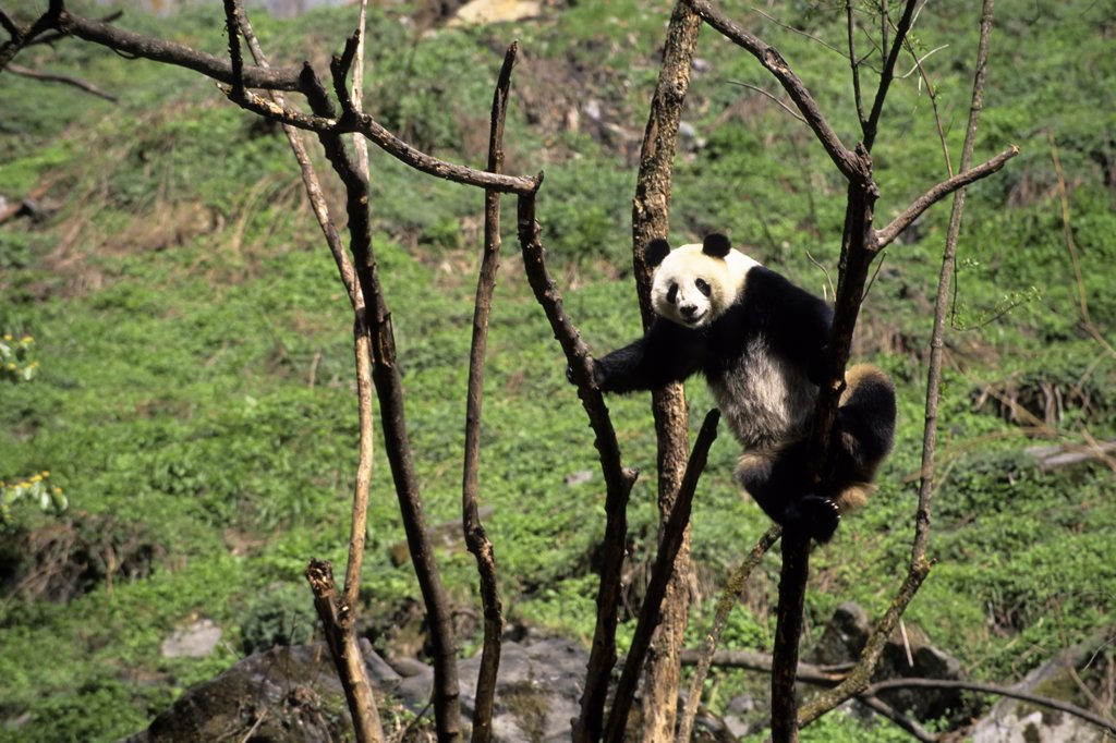 China, Sichuan Province, Wolong Panda Reserve, Giant  Panda (Ailuropoda Melanoleuca) In Tree : Stock Photo