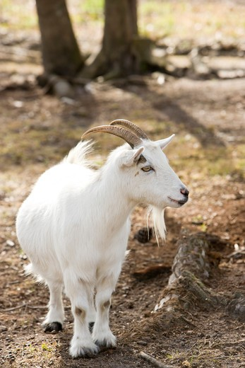 Stock Photo: 4172R-2088 Billy goat