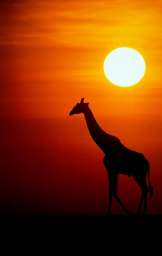 Silhouetted giraffe at sunset : Stock Photo