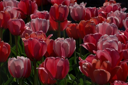 Blooming red tulips flowers in detail : Stock Photo