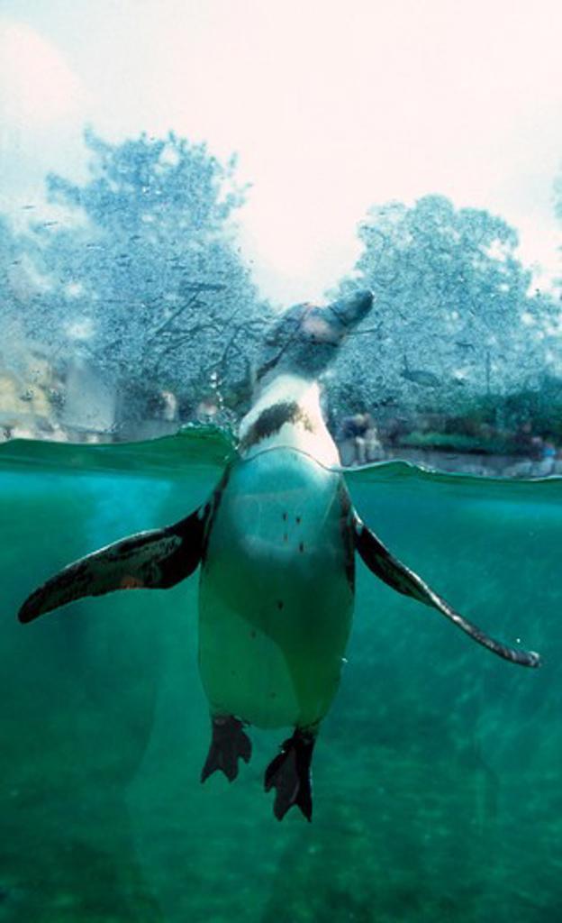 Penguin in the Zoo in Copenhagen : Stock Photo