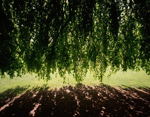 Shadow of Willow tree's branches on the grass, Sweden : Stock Photo