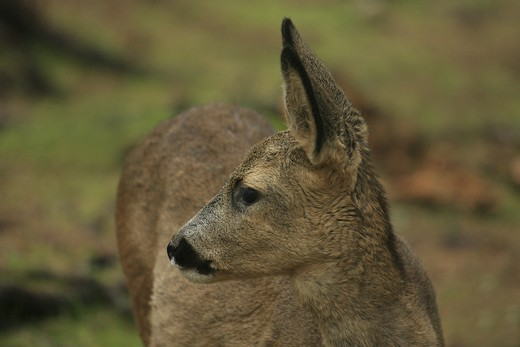 Stock Photo: 4176-20216 Close of a deer turning at a side