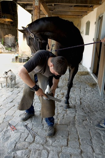 Teenage boy fixing a horseshoe on the hoof of a horse : Stock Photo