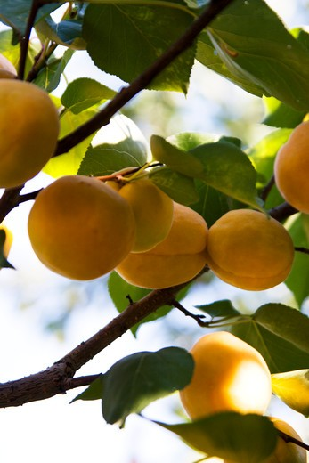 Apricot fruits on a tree, Czech Republic : Stock Photo