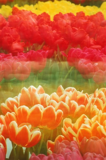 Tulips of various colors blowing in the wind : Stock Photo