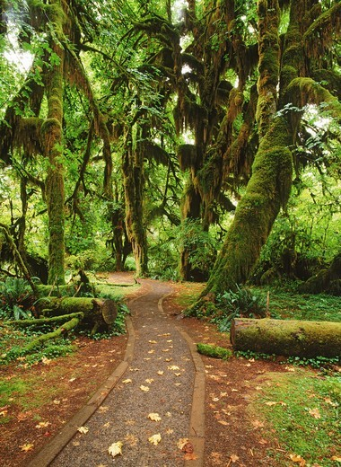 Stock Photo: 4176-21074 The Hall of Mosses in Hoh River Valley in Olympic National Park on Olympic Peninsual, Washington