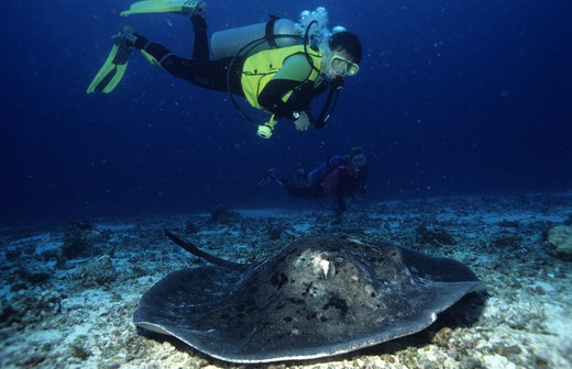 Underwater photography of divers and a sting ray fish on the seabed : Stock Photo