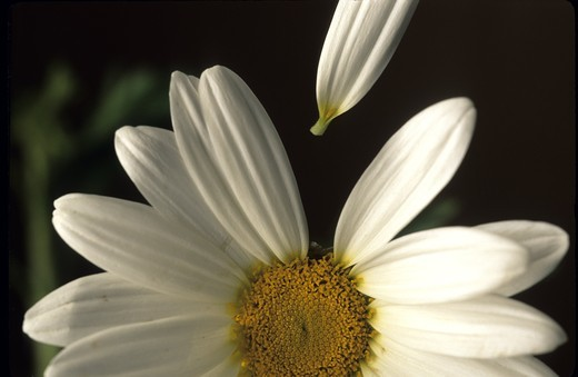 Detail of a white flower : Stock Photo