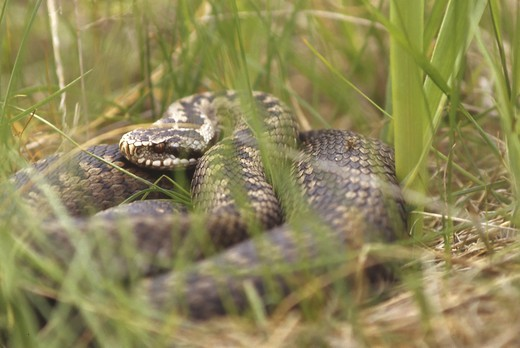 Close-up view of a snake in the grass : Stock Photo