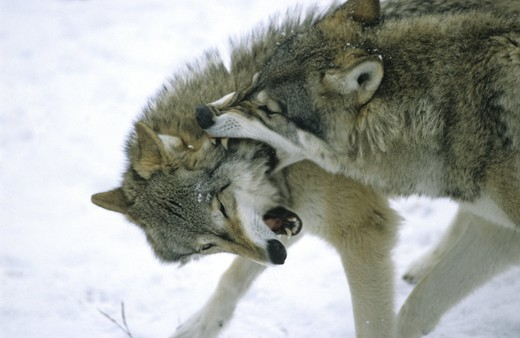 Stock Photo: 4176-24217 Close-up of two wolves fighting, Sweden.