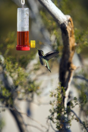 Stock Photo: 4176-24402 Hummingbird hovering next to a bird feeder, California, USA