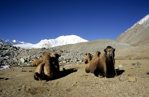 Stock Photo: 4176-24902 Camels resting. Altai mountains. Mongolia.