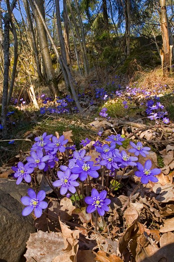 Hepatica nobilis flowers blooming in forest : Stock Photo