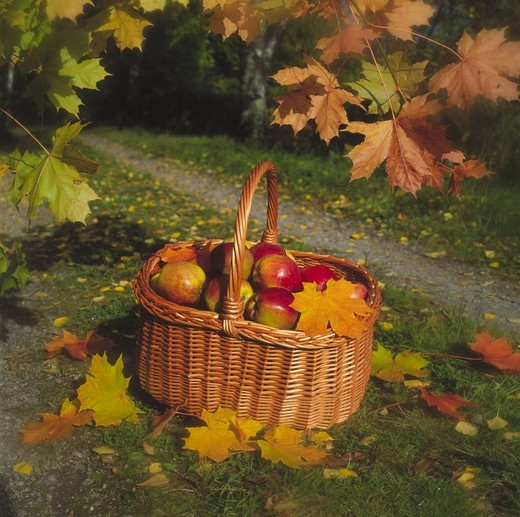 Apples in basket with fallen autumn leaves : Stock Photo