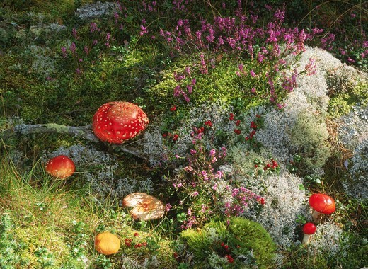 Wild mushrooms and fungi on mossy forest floor in Sweden : Stock Photo