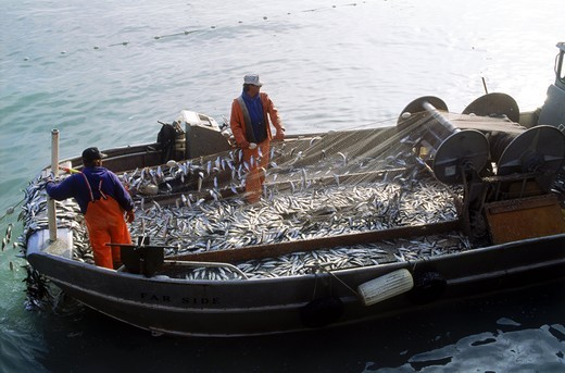 Stock Photo: 4176-27593 Fishermen unloading nets full of herring off Sausalito California