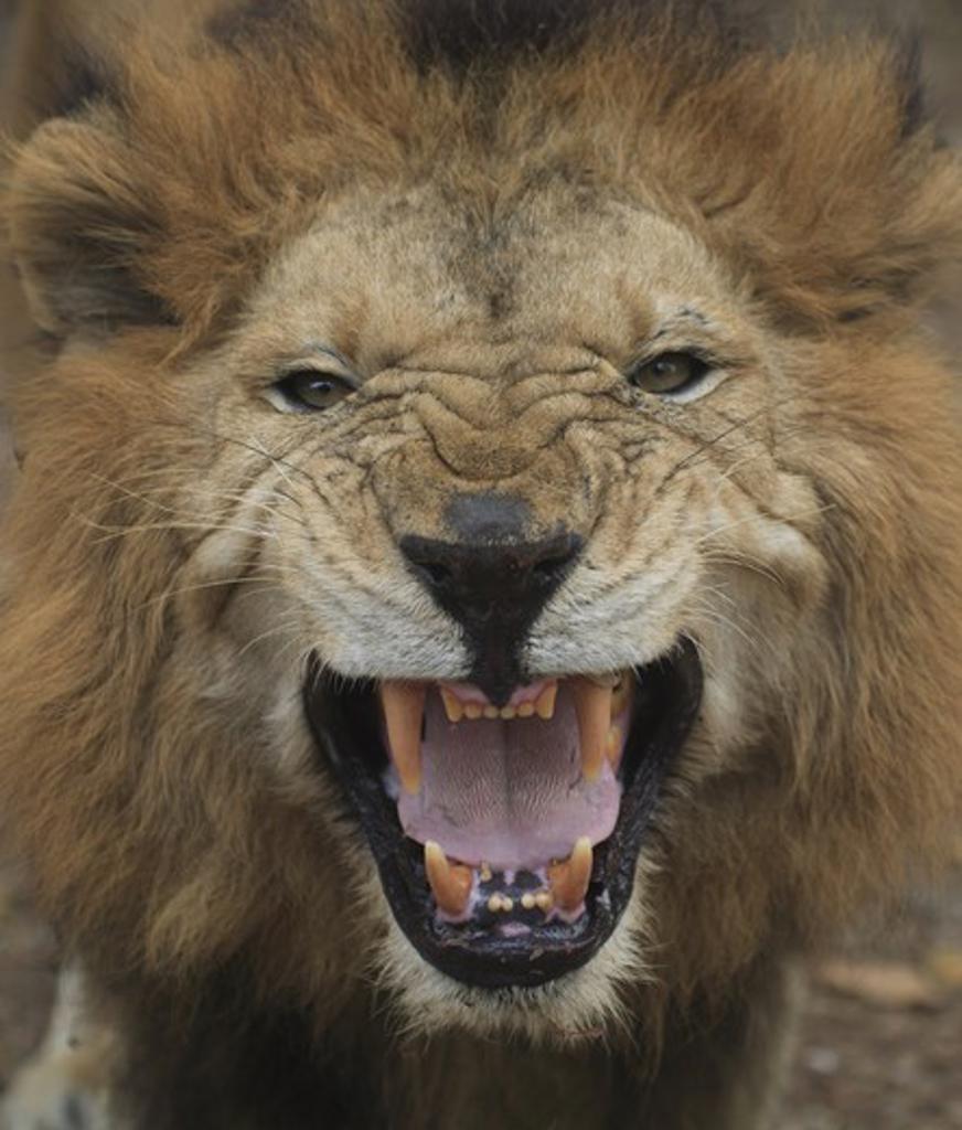 Stock Photo: 4176-29135 Roaring lion. Kerala. India