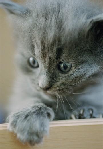 Gray kitten : Stock Photo