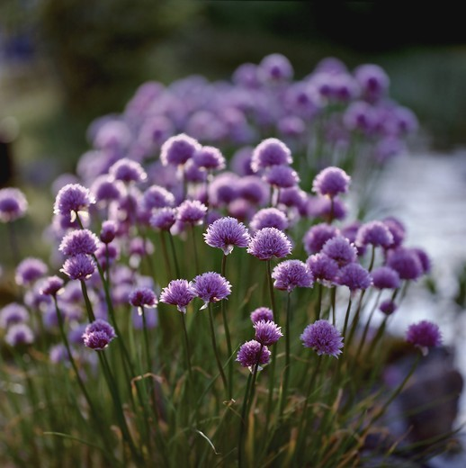 Chive (Allium Schoenoprasum) flowers in a field. Dadersjo (Dadesjo SmAland) Sweden : Stock Photo