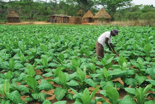 African plantation employee working amid green tobacco leaves on farm in Zimbabwe : Stock Photo