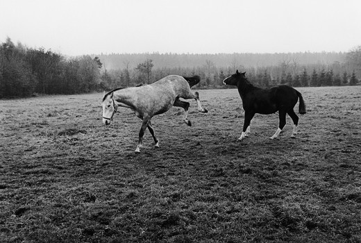 Stock Photo: 4176-32058 Two horses running in a field. Varmland (Varmland) Sweden