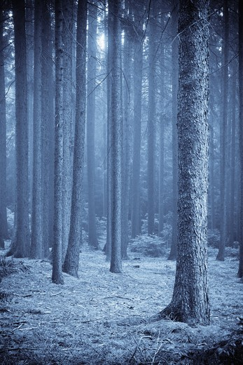 FOREST IN FOG. : Stock Photo