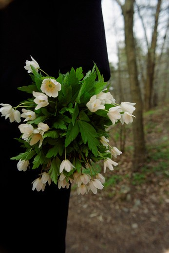 A person holding a bouquet of wood anemone, Sweden : Stock Photo