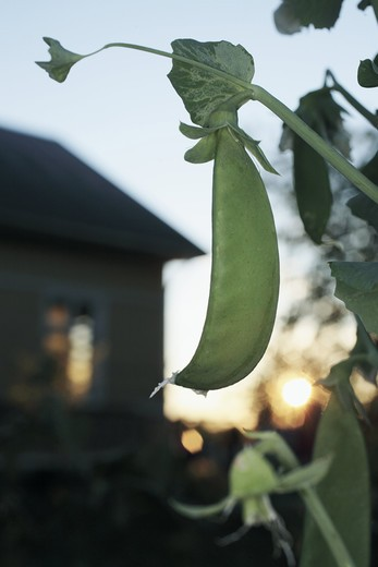 Stock Photo: 4176-33976 Pea pod, Sweden