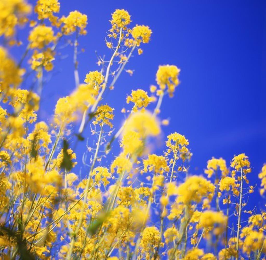 Rapeseed (Brassica napus), also known as rape, oilseed rape, rapa, rapaseed : Stock Photo