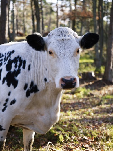 Cow in forest. Sweden : Stock Photo