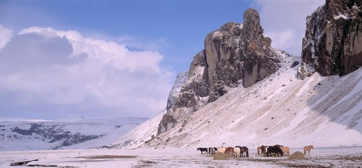 Iceland - Horses on a snow covered landscape : Stock Photo