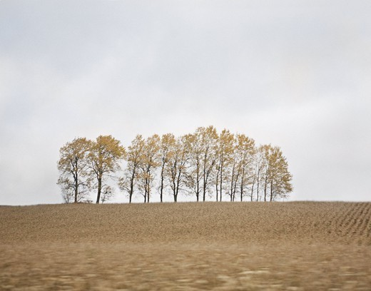 Stock Photo: 4176-39162 Aspens and a wheat field in late autumn, Sweden.