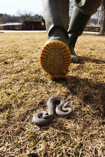 Stock Photo: 4176-4055 Treading down a snake