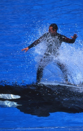 Young man riding on a Killer whale, San Diego Zoo, California, USA : Stock Photo