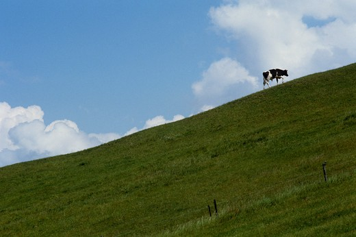 Stock Photo: 4176-5184 A cow on a hillside, Sweden