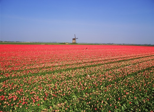 Ocean of red tulips with distant windmill near Stompetoren Holland : Stock Photo