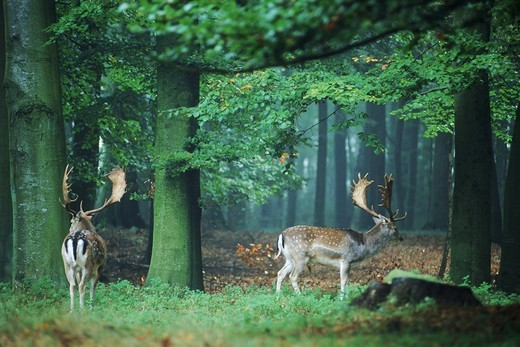Stock Photo: 4176-5645 Two fallow deer in beechwood forest in Southern Sweden