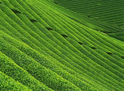 Stock Photo: 4176-6717 Hillside tea fields in Japan