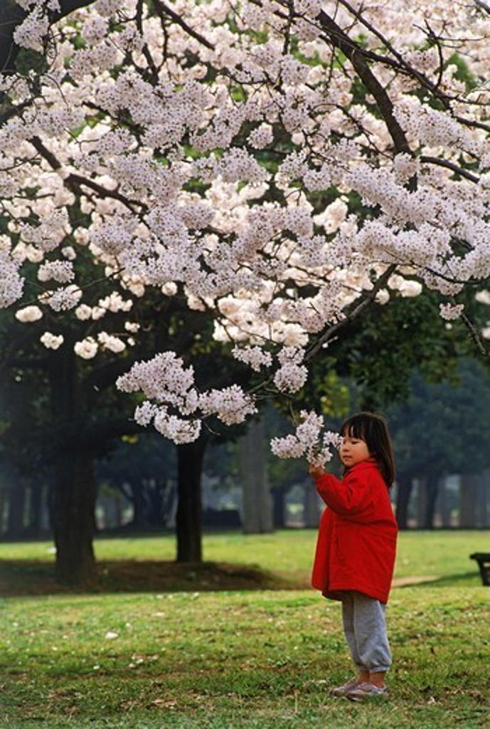 Stock Photo: 4176-6886 Japanese girl in Tokyo Shinjuku Park under cheery blossoms