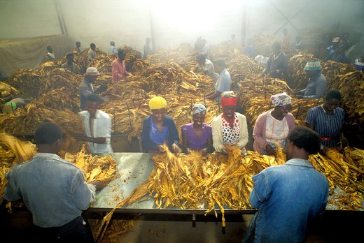 Tobacco leaves being graded and bundled in Zimbabwe curing house : Stock Photo
