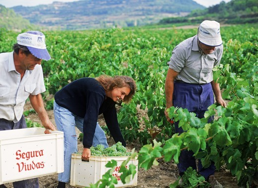 Stock Photo: 4176-7411 Grape harvest in La Rioja region of Spain