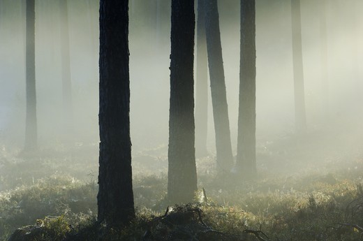 Stock Photo: 4176-8155 Trees with fog in the forest