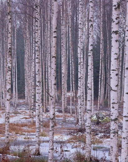 Birch grove. Winter. Smaland, Sweden : Stock Photo
