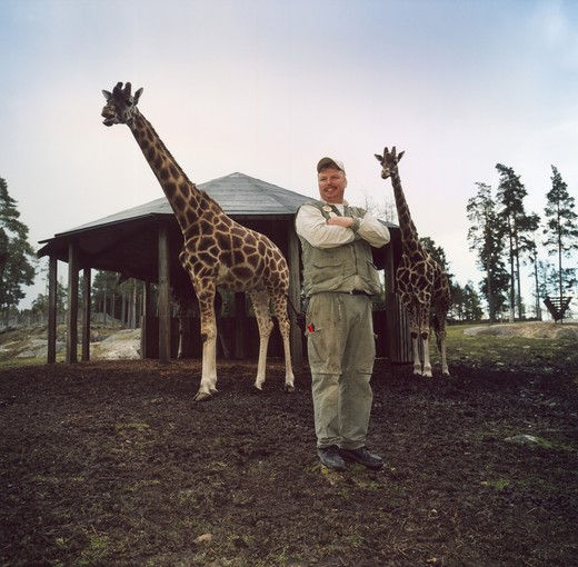 A man standing with giraffes : Stock Photo
