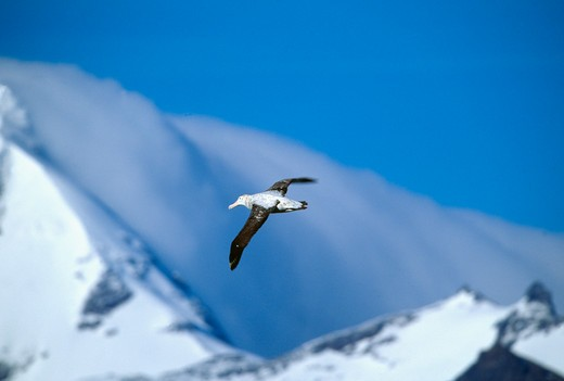 Stock Photo: 4176-967 One flying bird, snowy mountains in background