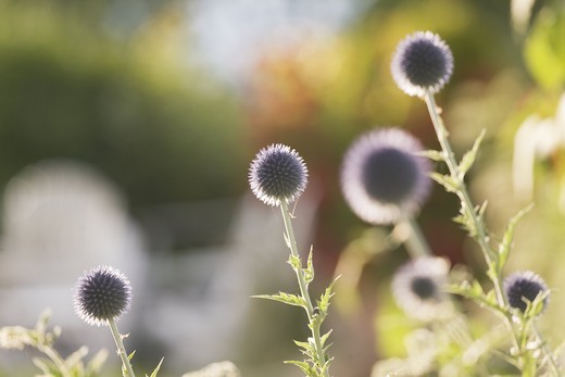 Stock Photo: 4177R-2119 Thistle. Sweden
