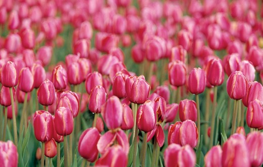 Stock Photo: 4177R-750 A field of pink tulips.