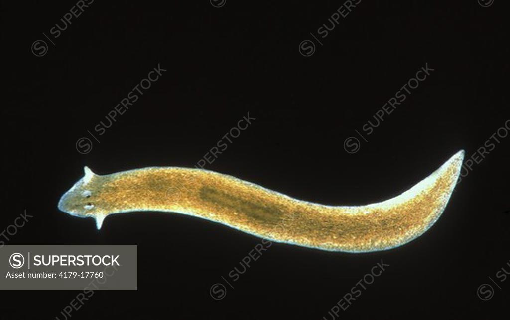 Stock Photo: 4179-17760 Brown Planaria (Flatworm) (Dugesia tigrina), fresh water Platyhelmenth
